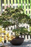 Bonsai Tree, Arnold Arboretum