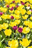 Vibrant Tulip Garden, Massachusetts