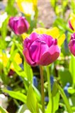 Purple Tulip, Massachusetts