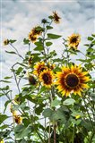 Tall Sunflowers In Cape Ann, Massachusetts