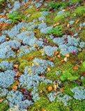 Moss And Balsam Fir Saplings