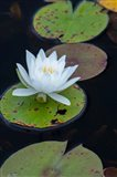 White Water Lily Flowering In A Pond