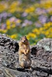 Columbia Ground Squirrel Close-Up