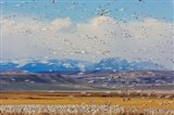 Spring Migration Of Snow Geese