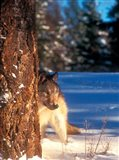 A Gray Wolf On The Alert In Winter