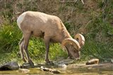 Bighorn Sheep Drinking, Yellowstone National Park, Montana