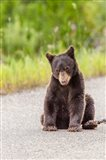 Bear Cub On Camas Road