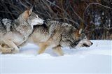 Gray Wolves Running In Snow, Montana
