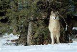 Gray Wolf In Winter, Montana