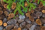 Pine Cones And Douglas Fir Bough, Nevada