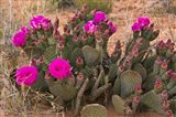 Prickly Pear Cactus In Bloom, Valley Of Fire State Park, Nevada