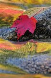 Red Maple leaf on rock in Swift River, White Mountain National Forest, New Hampshire