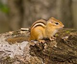New Hampshire; Lincoln; Franconia Notch SP, Chipmunk