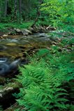 Lady Fern, Lyman Brook, The Nature Conservancy's Bunnell Tract, New Hampshire