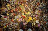 Fall Foliage on Forest Floor in White Mountains, New Hampshire