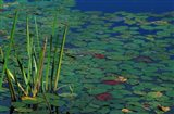 Pond Water Lilies, Brookline, New Hampshire