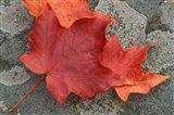 Sugar Maple Foliage in Fall, Rye, New Hampshire