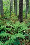 Ferns in the Understory of a Lowland Spruce-Fir Forest, White Mountains, New Hampshire