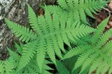 Long Beech Fern, White Mountains National Forest, Waterville Valley, New Hampshire
