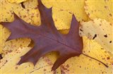 Northern Red Oak Leaf in Fall, Sandy Point Trail, New Hampshire