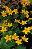 Urban Forestry Center, Marsh Marigolds, Portsmouth, New Hampshire