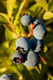 Blueberry agriculture, Alton, New Hampshire