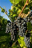 Vineyards in Candia, New Hampshire