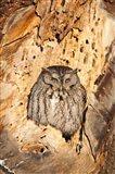 Eastern Screech Owl, Rye, New Hampshire