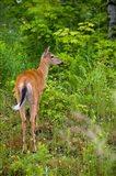 Whitetail deer, Pittsburg, New Hampshire