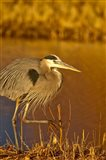 Great Blue Heron bird, Bosque del Apache, New Mexico