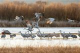 Sandhill Cranes Flying, New Mexico