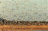 Snow Geese Taking Off From Their Morning Roost, New Mexico