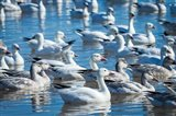 Ross's And Snow Geese In Freshwater Pond, New Mexico