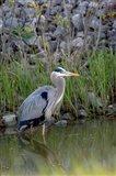 Great Blue Heron bird Maumee Bay Refuge, Ohio