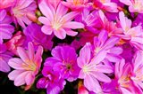 Close-Up Of Columbian Lewisia