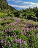 Lupine In Elk Cove, Oregon