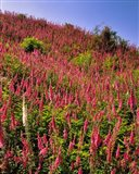 Hillside Of Foxglove In Clatsop County, Oregon