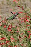 Hummingbird In The Bloom Of A Salvia Flower