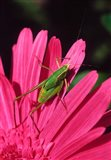 Fork-Tailed Bush Katydid On A Gerbera Flower