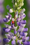 Ladybug On A Lupine Flower
