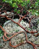 Manzanita Plant Roots On A Bed Of Moss