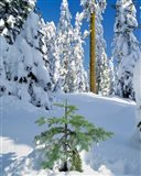Scenic Of New Snow On Forest, Oregon