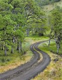 Road Lined With Oak Trees, Oregon