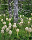 Beargrass Around Dead Evergreen, Oregon