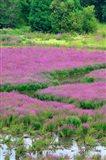 Purple Loosestrife Flowers In A Marsh, Oregon