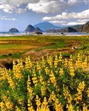 Landscape Of Yellow Lupine, Oregon