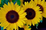 Dune Sunflower Trio