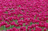 Field Of Purple Tulips In Spring, Willamette Valley, Oregon