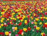 Field Of Bright Tulips In Spring, Oregon