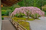 Weeping Cherry Tree, Portland Japanese Garden, Oregon